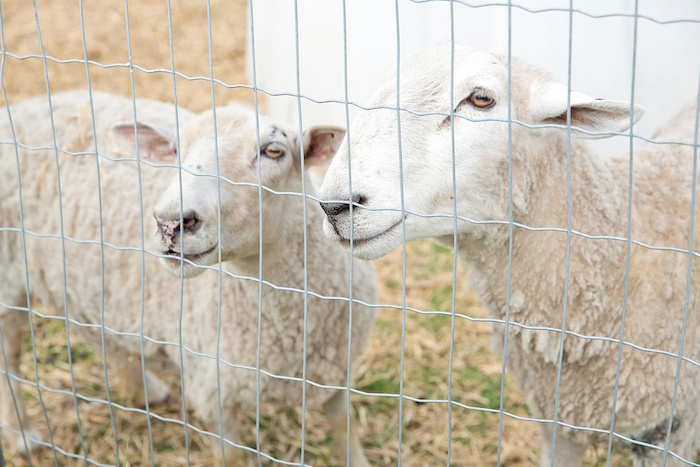 Sheep at a Glamorous Barnyard Birthday Bash via Kara's Party Ideas | KarasPartyIdeas.com (7)
