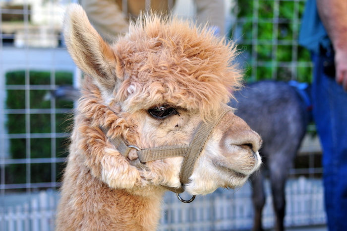 Fawn Alpaca from a Princess Jasmine Arabian Nights Birthday Party on Kara's Party Ideas | KarasPartyIdeas.com (7)