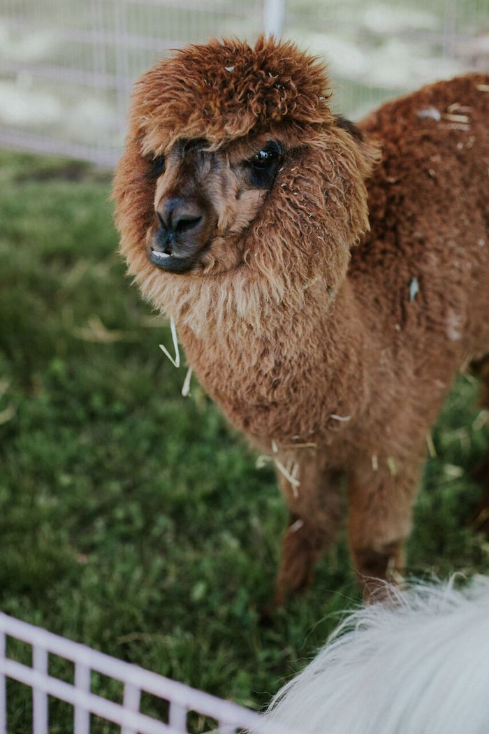 Alpaca from a Modern Vintage Farm-to-Table Birthday Party on Kara's Party Ideas | KarasPartyIdeas.com (15)