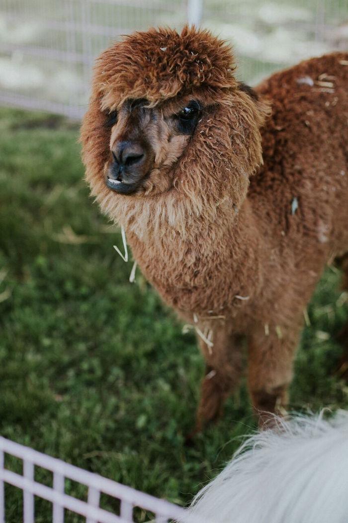 Alpaca from a Modern Vintage Farm-to-Table Birthday Party on Kara's Party Ideas | KarasPartyIdeas.com (15)