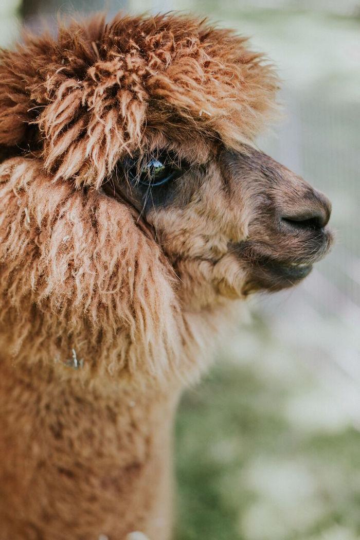 Alpaca from a Modern Vintage Farm-to-Table Birthday Party on Kara's Party Ideas | KarasPartyIdeas.com (12)