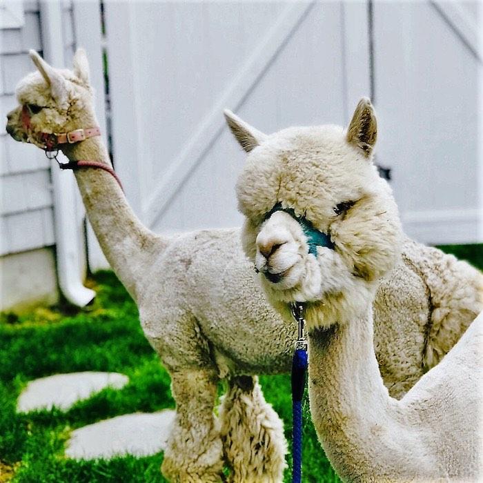 Alpacas from a Llama Fiesta Birthday Party on Kara's Party Ideas | KarasPartyIdeas.com (20)