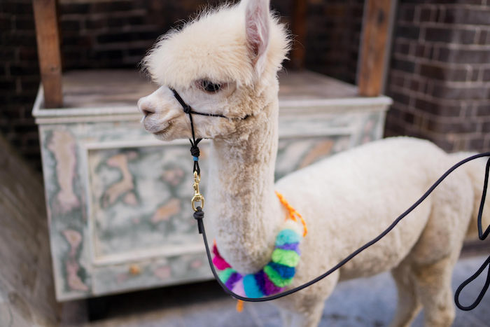 Peruvian Alpaca Inspired Wedding on Kara's Party Ideas | KarasPartyIdeas.com (19)